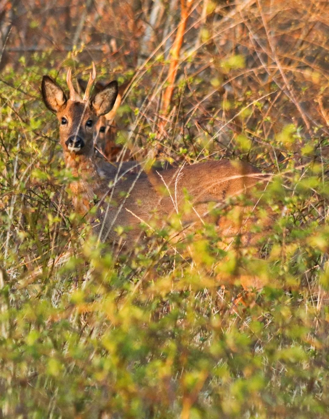Verscholen in braamstruiken - Op ongeveer 15 meter afstand kunnen komen . - foto door Erikvdzwan op 16-04-2021 - locatie: 8181 Heerde, Nederland - deze foto bevat: fabriek, hout, natuurlijk landschap, herten, gras, fawn, terrestrische dieren, grasland, snuit, staart