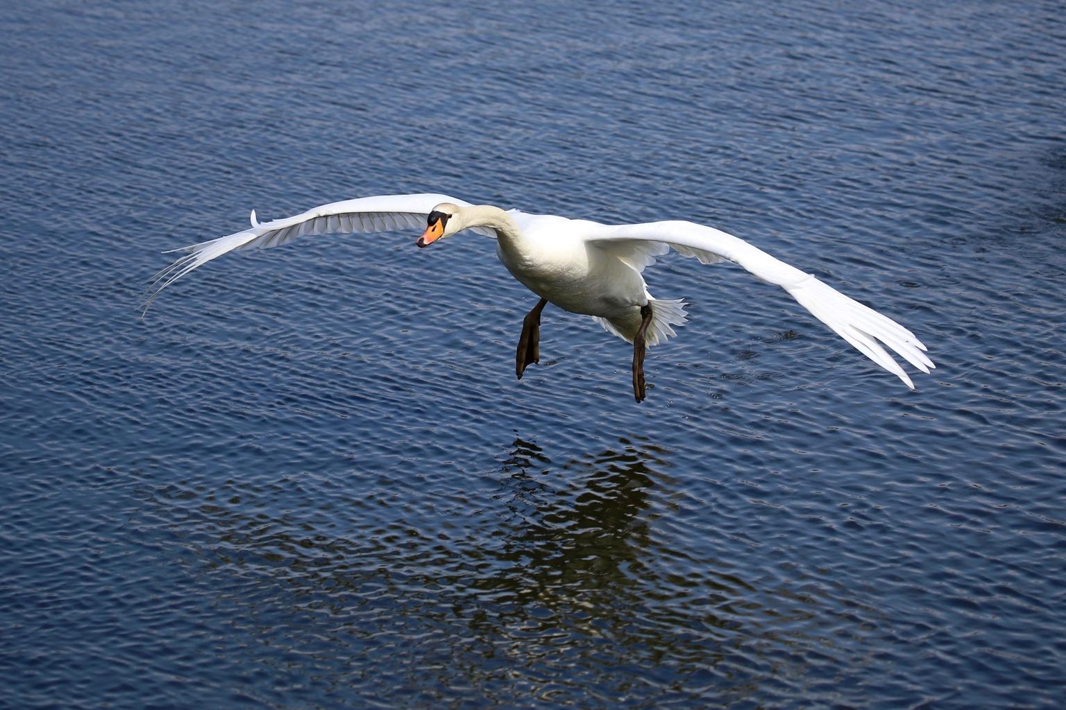 Zwaan gaat landen - Foto gemaakt vanaf een bruggetje - foto door Ebben op 16-04-2021 - deze foto bevat: water, vogel, gewervelde, bek, meer, menselijk lichaam, vloeistof, veer, toendra zwaan, eenden, ganzen en zwanen
