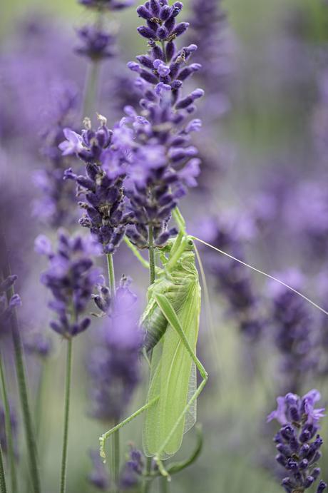 Sabelsprinkhaan in de Lavendel