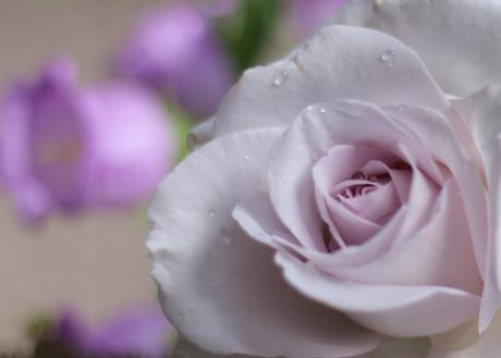 lila roos