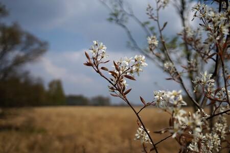 BLOESEM KRENT - BLOEIENDE KRENTENBOOM IN VEENGEBIED - foto door jh- op 21-04-2021 - locatie: Vriezenveen, Nederland - deze foto bevat: bloem, lucht, fabriek, wolk, natuurlijk landschap, takje, bloemblaadje, boom, gras, bloeiende plant