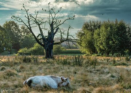 Requiem for a cow