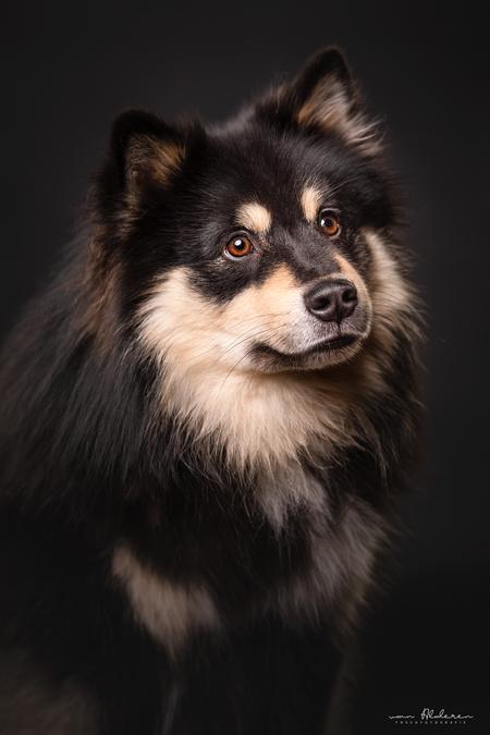 Puck - Studio portret van de prachtige Finse Lappenhond Puck - foto door foscofotografie op 14-04-2021 - locatie: Waalwijk, Nederland - deze foto bevat: finse lappenhond, hond, honden, studio, studioportret, portret, flitsen, godox, canon, hondenfotografie, dierenfotografie, dier, dieren, hond, oog, hondenras, carnivoor, iris, bakkebaarden, metgezel hond, snuit, werkend dier, sportieve groep