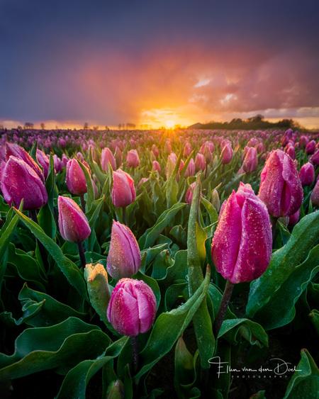 Snow and tulips - De eerste tulpenvelden beginnen langzaam te kleuren, de meeste zijn nog groen. Maar deze roze tulpen durfden het al aan tussen alle sneeuw en hagelbu - foto door EllenD op 12-04-2021 - locatie: Nederland - deze foto bevat: landschap, tulpen, bloemen, zonsopkomst, sneeuw, wolken, tulpenveld, tegenlicht, bloem, lucht, fabriek, ecoregio, bloemblaadje, wolk, natuurlijk landschap, zonlicht, gras, landschap
