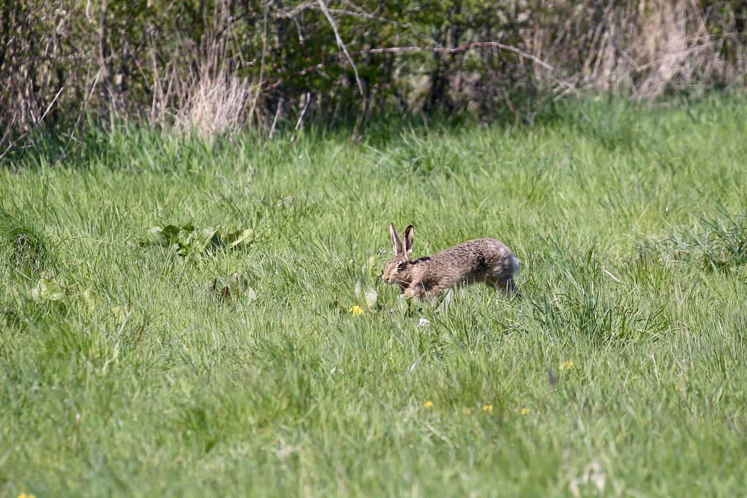 haas - ik kon hem over een hele afstand volgen naar mij toe. Hij zag me, maar had geen vluchtneigingen. - foto door Ebben op 17-04-2021 - deze foto bevat: konijn, fabriek, ecoregio, konijnen en hazen, haas, zoogdier, gras, bek, fawn, mountain cottontail