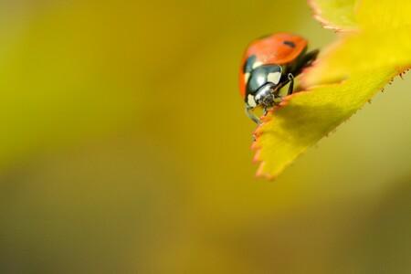 On the edge - Lieveheersbeestje in de tuin - foto door Rolo72 op 16-04-2021 - deze foto bevat: lieveheersbeestje, bloem, geleedpotigen, insect, kever, fabriek, bloemblaadje, takje, natuurlijk landschap, landschap