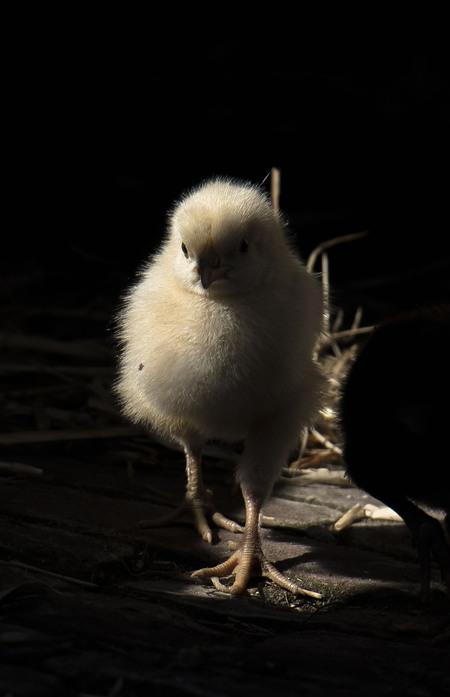 Into the light - Ineens kwam ze uit de schaduw naar mij toe lopen - foto door fam.francke op 17-04-2021 - locatie: Geerweg 7, 2381 LT Zoeterwoude, Nederland - deze foto bevat: dieren, natuur, light, boerderij, kip, vogel, vogel, bek, kip, lucht, goud, galliformes, zeevogel, veer, hout, staart