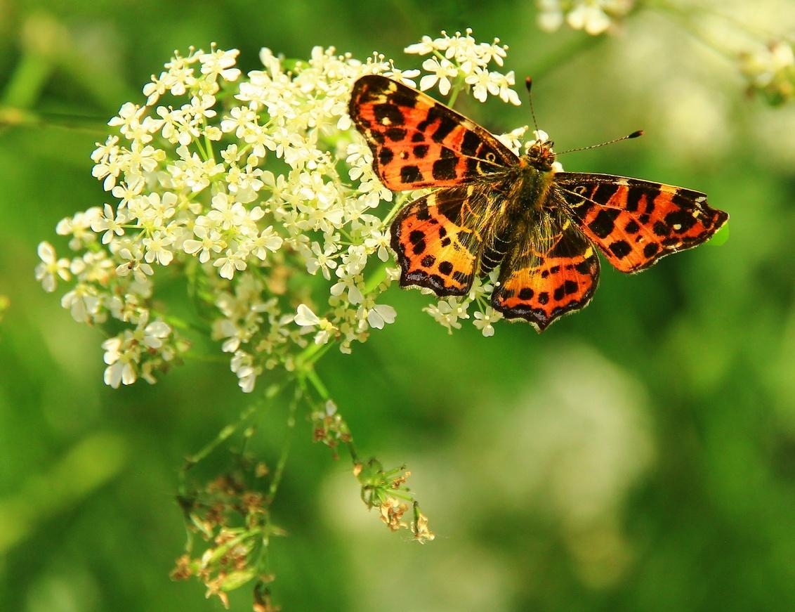Vlinder - Vlindertjes fotografeer ik alleen als ze toevallig voorbij komen. gr.Peter - foto door pjhtheunissen op 29-04-2021 - locatie: 79664 Wehr, Duitsland - deze foto bevat: vlinder, macro, toeval, bloem, bestuiver, fabriek, insect, geleedpotigen, vlinder, motten en vlinders, bloeiende plant, boloria, vanessa (vlinder)