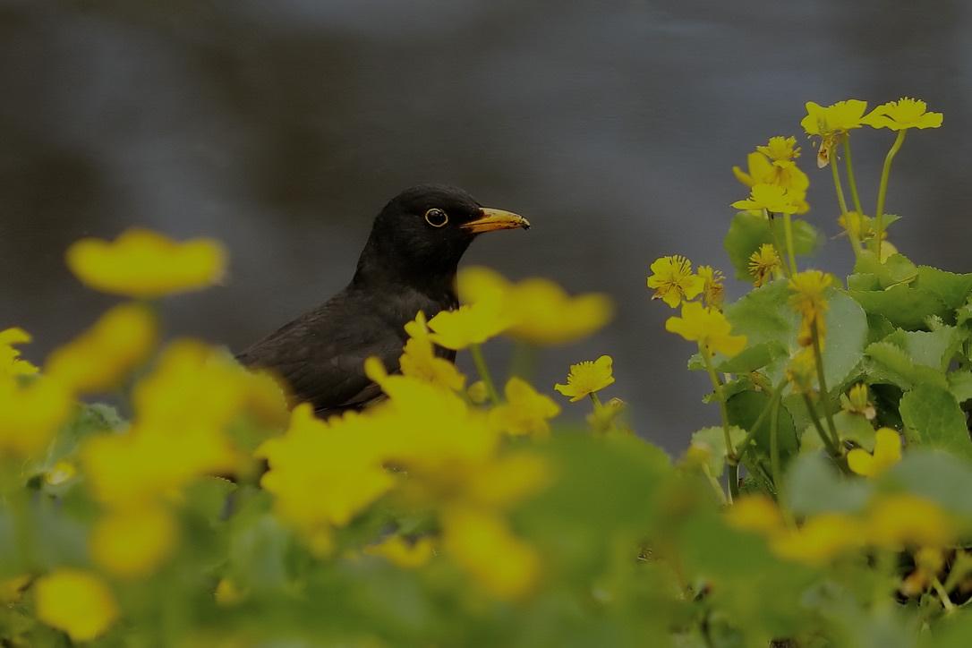 Merel - . - foto door Time---traveler op 13-04-2021 - deze foto bevat: bloem, fabriek, vogel, bestuiver, bek, bloemblaadje, bloeiende plant, zangvogel, neerstekende vogel, dieren in het wild