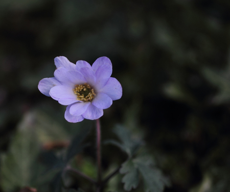 Anemoon - De anemoon staat in bloei op de daktuin. - foto door DinaLa op 13-04-2021 - locatie: 9051 Stiens, Nederland - deze foto bevat: bloem, fabriek, bloemblaadje, japanse anemoon, rose familie, eenjarige plant, daisy familie, bloeiende plant, onderstruik, stuifmeel