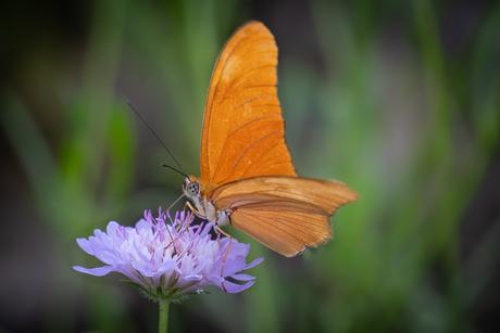 Oranje Juliavlinder