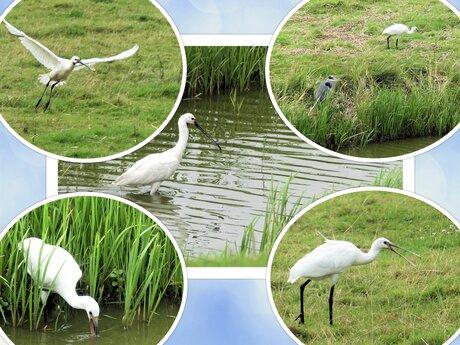 Collage  Westlandse  Lepelaar sfeertje in de polder 12 aug 2021