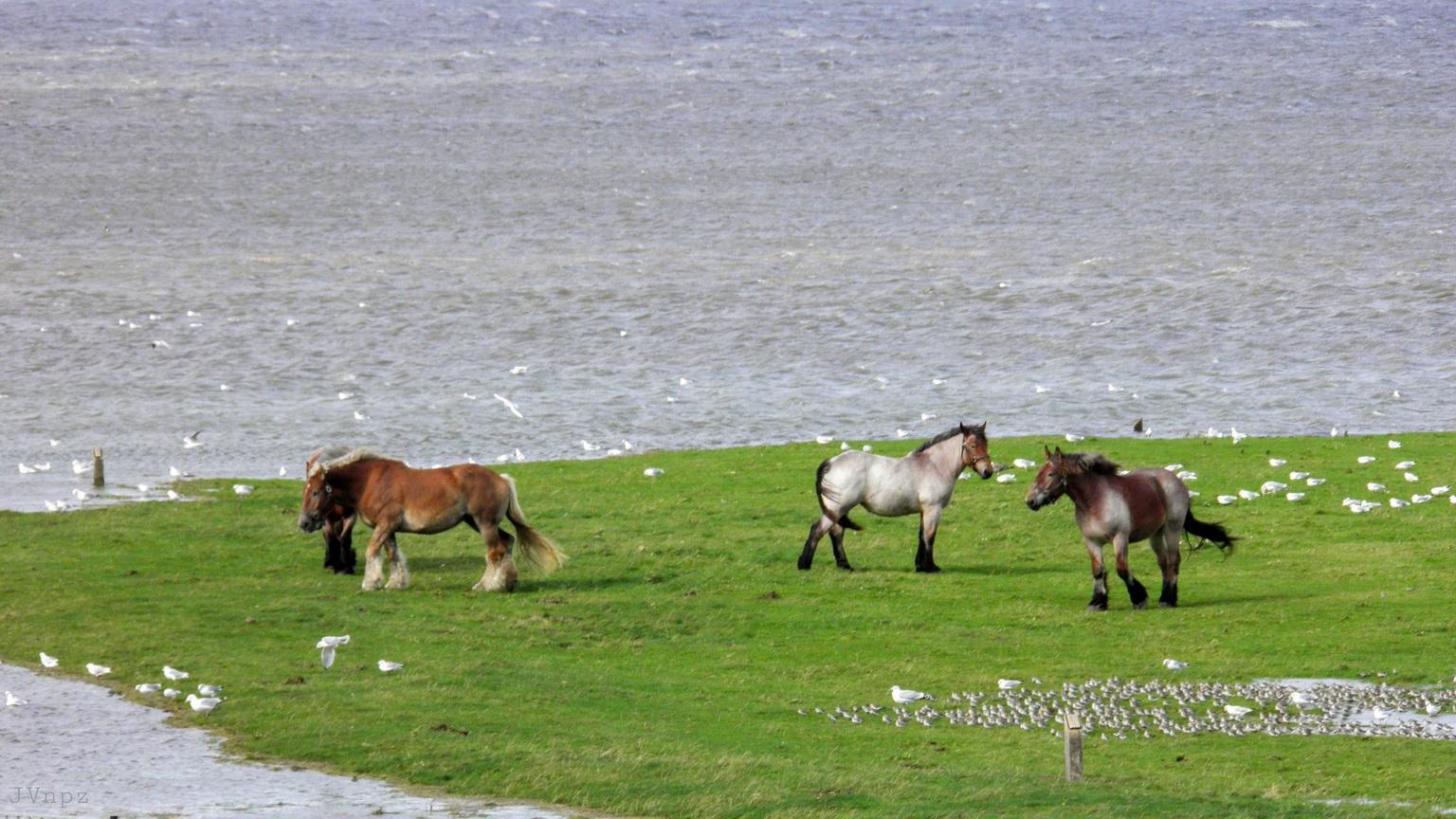 Hoog water NPZ - dit was in 2017 op Noordpolderzijl tijdens een storm.  - foto door Vissernpz op 04-05-2021 - locatie: 9988 TE Noordpolderzijl, Nederland - deze foto bevat: vloed, hoog water, noordpolderzijl, paarden, vogels, wad, kwelder, waddenzee, paard, water, ecoregio, natuurlijke omgeving, natuurlijk landschap, lichaam van water, werkend dier, grasland, grazen, gras