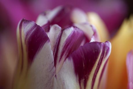 Mooie gevlamde tulp