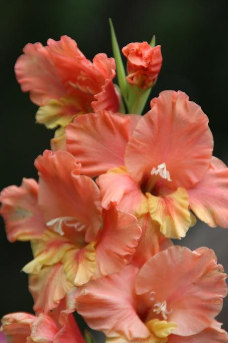 """gladiolus """"Conca d'Oro"""""""