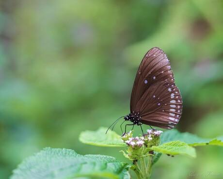 Vlinder met 50mm lens
