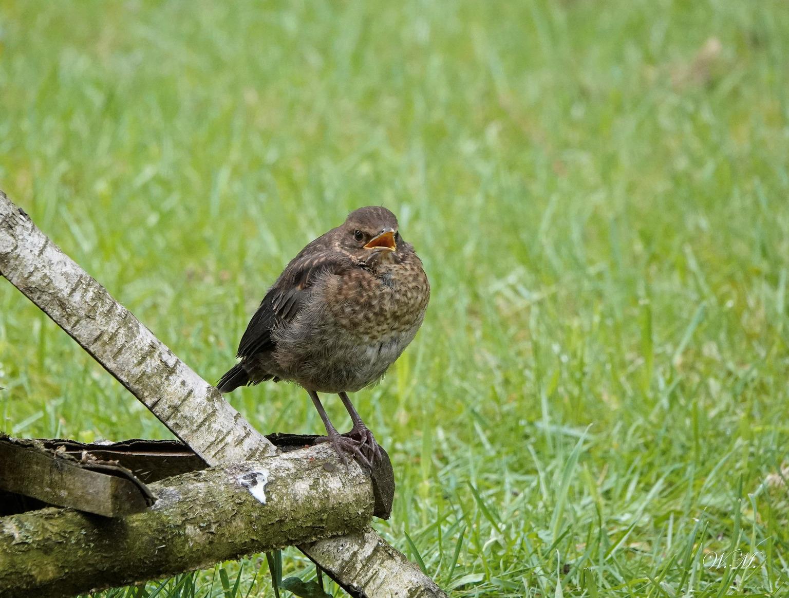 Jonge merel! - Deze jonge merel huppelde rond in de tuin wachtend op wat lekkers! - foto door WMeijerink op 05-05-2021 - deze foto bevat: vogels, merel, indetuin, natuur, natuurfotografie, vogel, bek, gras, veer, fabriek, terrestrische dieren, zangvogel, grasland, neerstekende vogel, prairie