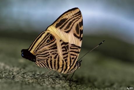 Zebra Vlinder.