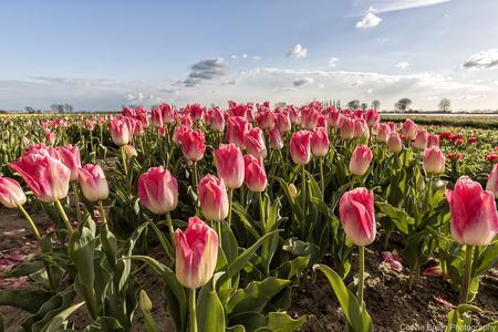 Tulpenvelden - Tulpenvelden op Goeree-Overflakkee - foto door CordeBruijn op 17-04-2021 - locatie: Goeree-Overflakkee, Nederland - deze foto bevat: tulp, landschap, goeree-overflakkee, bloembollen, lucht, bloem, lucht, fabriek, wolk, bloemblaadje, natuurlijk landschap, roze, gras, landbouw, landschap