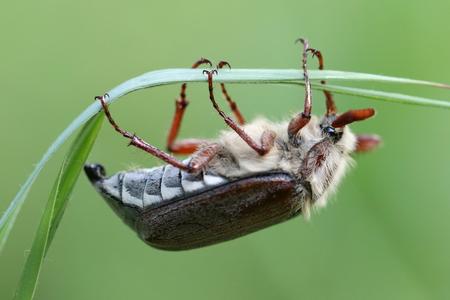 in de lucht hangen - bosmeikever - foto door AnneliesV op 27-04-2021 - deze foto bevat: insect, geleedpotigen, organisme, plaag, terrestrische dieren, parasiet, detailopname, macrofotografie, ongewervelden, dieren in het wild