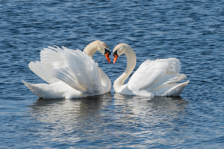 Liefde voor het leven - De dans van de zwanen