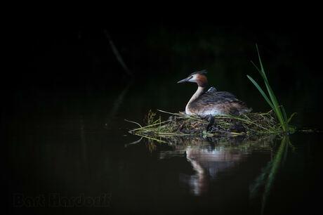 fuut met jong op het nest