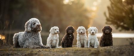 Labradoodle puppy's - Moeders + vijf lieve puppy krullebollen op een rijtje - foto door foscofotografie op 13-04-2021 - deze foto bevat: hond, dieren, dier, honden, natuur, zonsondergang, tegenlicht, dierenfotografie, hondenfotografie, schattig, labradoodle, canon, scherptediepte, dof, bokeh, hond, gewervelde, hondenras, licht, carnivoor, zoogdier, speelgoed, metgezel hond, fawn, waterhond