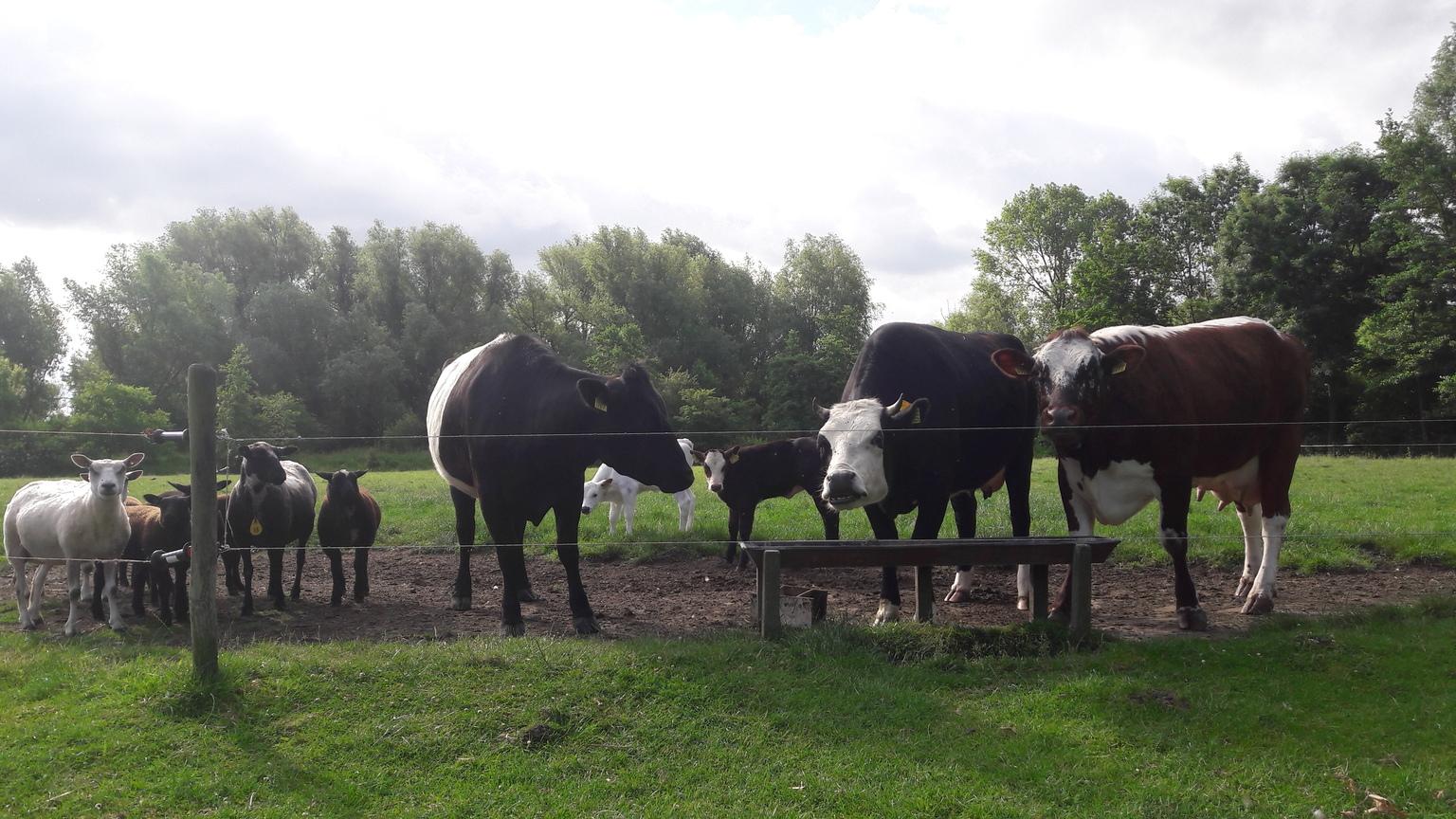 groepsfoto - op deze foto is het einde van de lente goed te zien, gras lang genoeg om buiten te lopen, de kalfjes zijn geboren en oud genoeg om na buiten te gaan, - foto door RolandvanTol op 10-04-2021 - locatie: Burgemeester Bruins Slotsingel 11, 2403 NC Alphen aan den Rijn, Nederland - deze foto bevat: koe, koeien, kalf, kalfjes, schaap, schapen, lam, lammeren, gras, honger, hoorns, wolk, lucht, fabriek, werkend dier, boom, grazen, gras, terrestrische dieren, grasland, landbouw