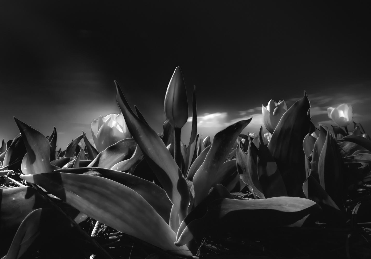 Black Tulip - Foto gemaakt met lange sluitertijd en laag standpunt waardoor de foto een filmische look krijgt! - foto door Ed600 op 15-04-2021 - locatie: Nassaustraat 31, 2161 RJ Lisse, Nederland - deze foto bevat: fabriek, bloemblaadje, flitsfotografie, terrestrische plant, bloem, zwart en wit, natuurlijk landschap, gras, landschap, bloeiende plant
