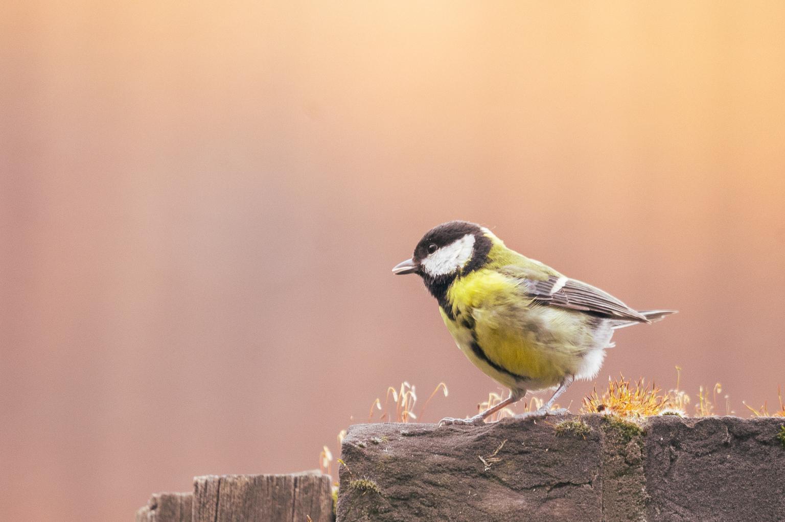 In mijn achtertuin - Ik woon in de binnenstad en heb een postzegel van een tuin. Maar toch wilde dit koolmeesje bij mij op bezoek komen. Gezellig toch? - foto door marielledevalk op 12-04-2021 - deze foto bevat: koolmees, vogel, natuur, voorjaar, lente, vogel, bek, veer, zangvogel, takje, hout, chickadee, neerstekende vogel, gouden gekroonde kinglet, dieren in het wild