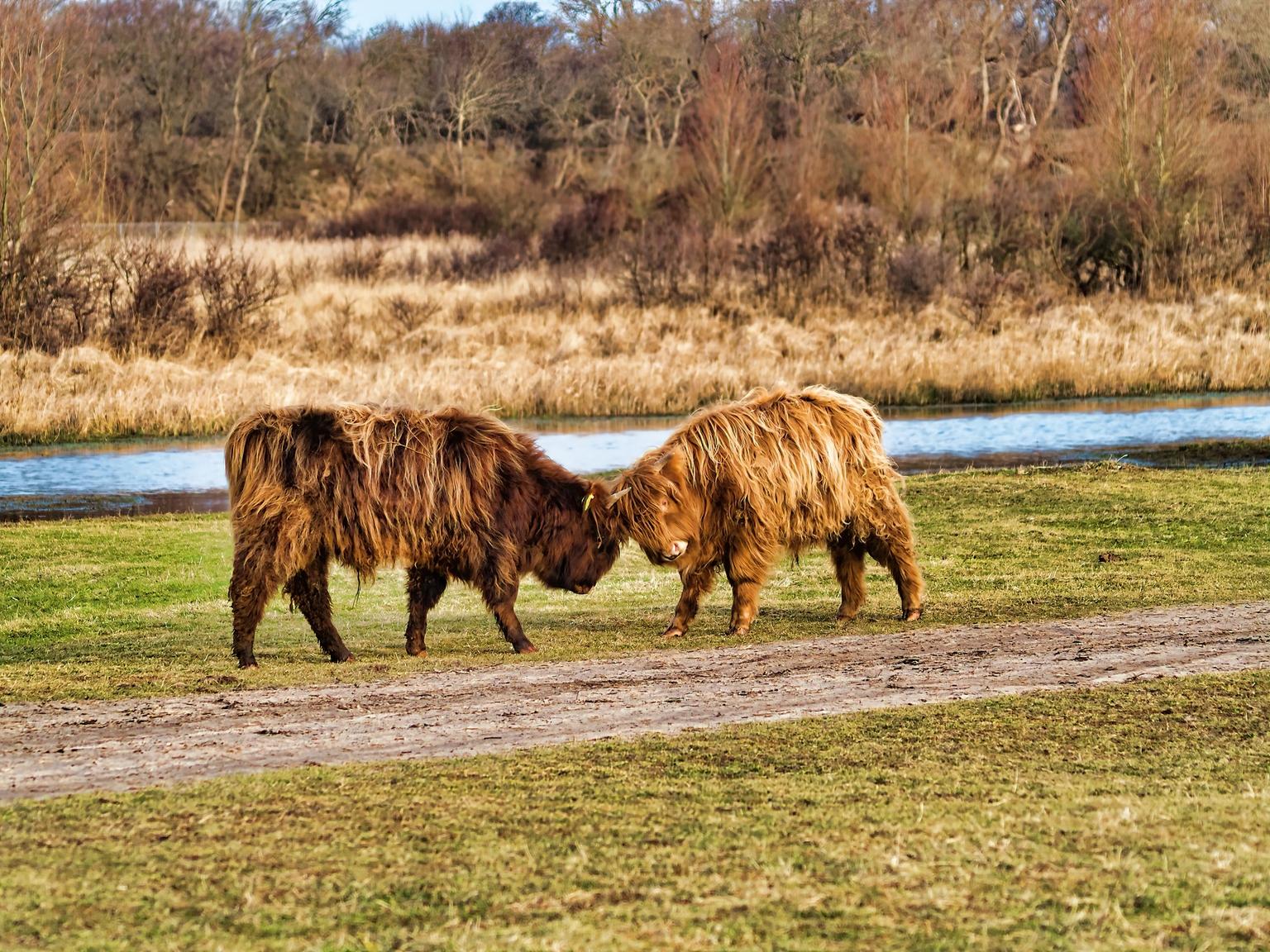 Who's boss - Higlanders - foto door OM-D op 11-04-2021 - locatie: Wassenaar, Nederland - deze foto bevat: dieren, higlanders, water, gewervelde, fabriek, boom, natuurlijk landschap, zoogdier, schapen, lucht, fawn, grazen