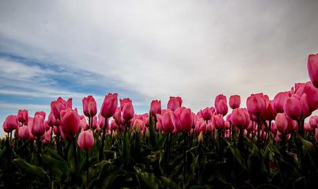 Roze tulpen close