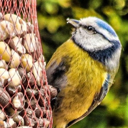 Nootje - Pimpelmees druk bezig om de pinda's in het netje op te eten. - foto door Erikvdzwan op 11-04-2021 - locatie: 8181 Heerde, Nederland - deze foto bevat: vogel, gewervelde, bek, organisme, zoogdier, dierenbenodigdheden, veer, vogelaanvoer, diereneten, mesh