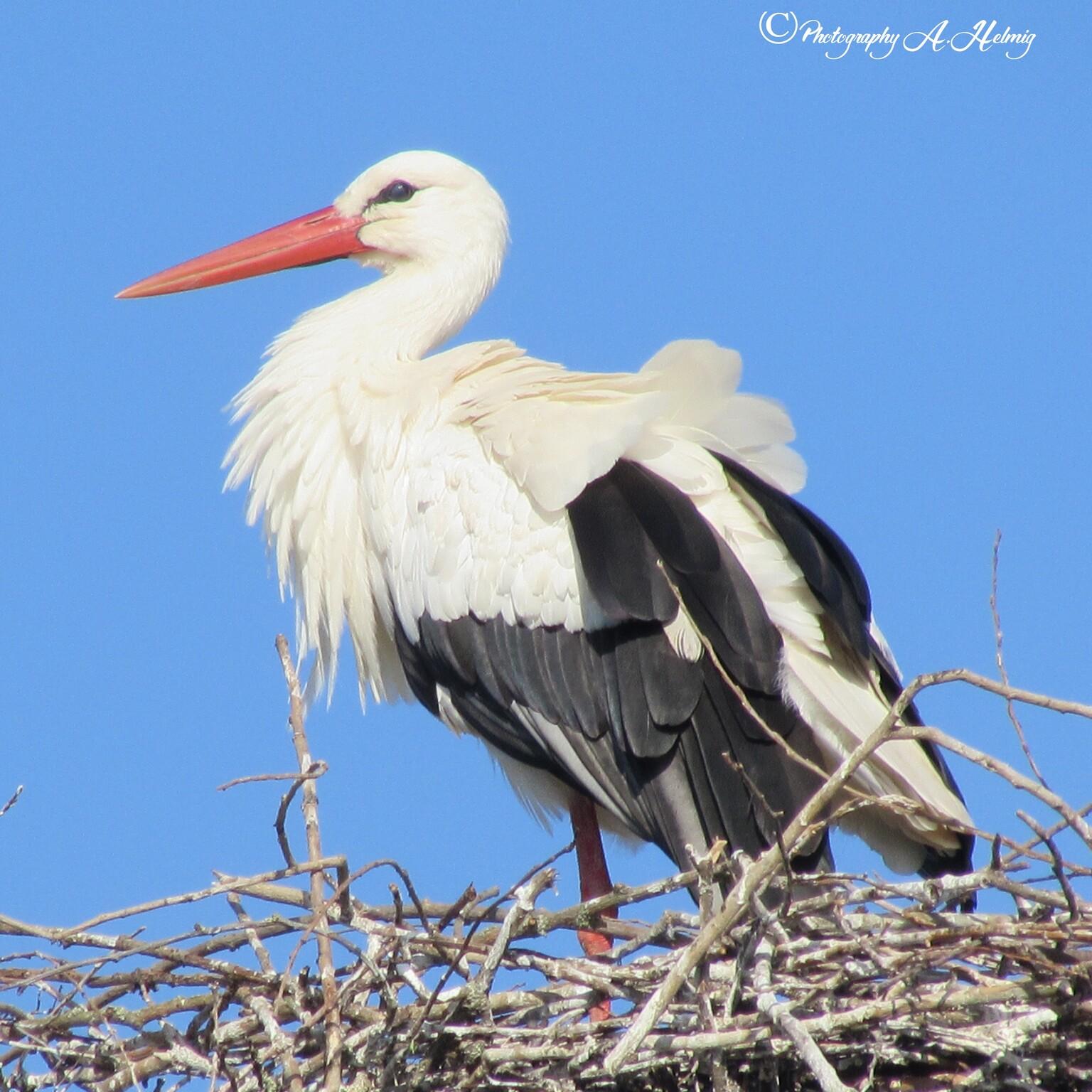 Ooievaar  - op nest - foto door Anja Helmig op 10-04-2021 - locatie: 4062 Zennewijnen, Nederland - deze foto bevat: vogel, lucht, witte ooievaar, bek, organisme, veer, vleugel, aanpassing, pelecaniformes, ciconiiformes