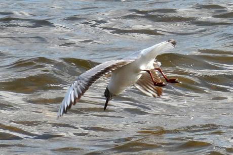meeuw duikt naar vis