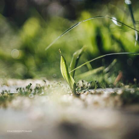 Groene spriet