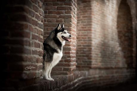 Pomsky bij de oude stadsmuur