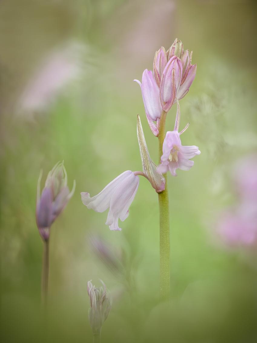 Bluebell - Er staan weer heel veel boshyacintjes te bloeien in het park en dan kun je bijna niet anders dan een poging wagen ze mooi vast te leggen - foto door Betty-Zijlstra op 04-05-2021 - locatie: Ede, Nederland - deze foto bevat: bloem, fabriek, bloemblaadje, gras, kruidachtige plant, terrestrische plant, pedicel, bloeiende plant, macrofotografie, grasland