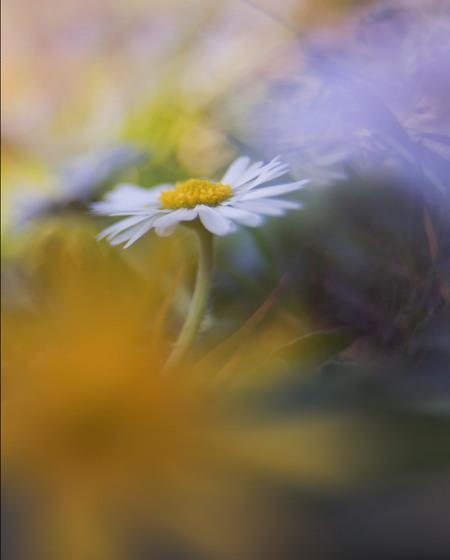 madeliefje - iedereen bedankt voor de reacties op mijn vorige upload lensnbaby edge 35   mvg.remco - foto door loeffen_zoom op 03-05-2021 - deze foto bevat: fabriek, bloem, bloemblaadje, lucht, natuurlijk landschap, gras, kamille prima, kamille, mensen in de natuur, bloeiende plant