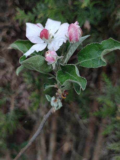 bloesem van onze nieuwe appelboom