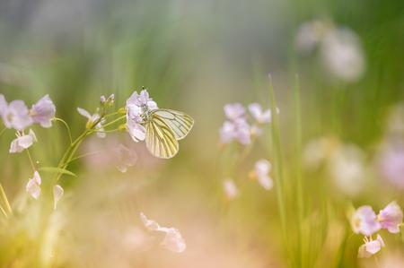 In het veld - Dacht dit kleine vlindertje zich te kunnen verstoppen, haha - foto door marielledevalk op 03-05-2021 - deze foto bevat: veld, natuur, vlinder, dof, voorjaar, bloemen, pinksterbloem, bloem, fabriek, bestuiver, insect, geleedpotigen, vlinder, motten en vlinders, bloemblaadje, gras, zwavel