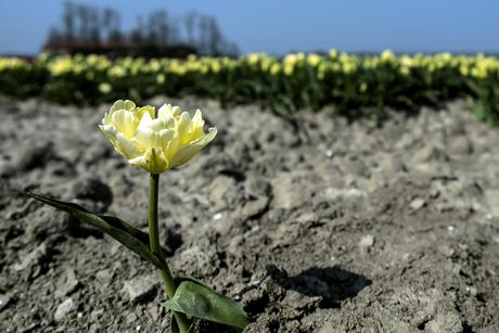 Verdwaalde tulp