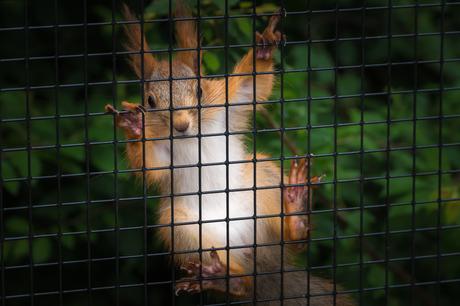 Siberische rode eekhoorn