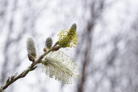 Grouwe Wilg - Lente sprong - foto door RPJW op 13-04-2021 - locatie: 7885 Nieuw-Dordrecht, Nederland - deze foto bevat: bloem, fabriek, takje, boom, sneeuw, groenblijvend, natuurlijk landschap, bevriezing, terrestrische plant, stuifmeel