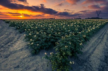 Patato Sunset