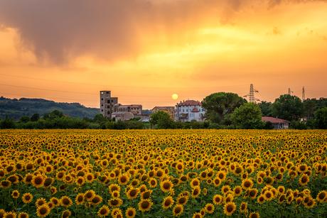 Zonnebloemen in Italië