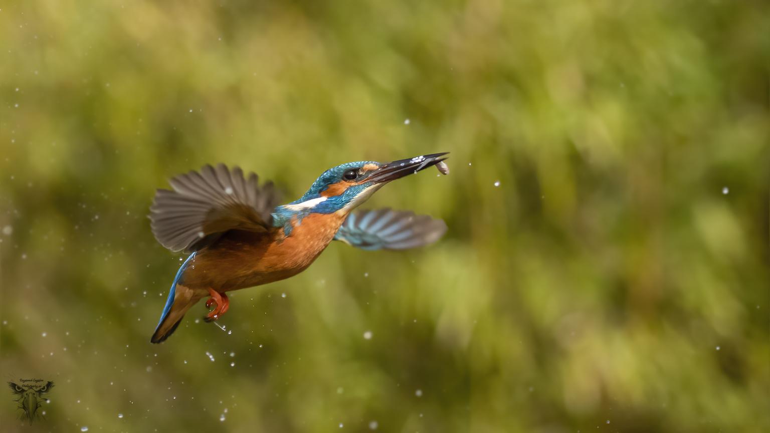 ijsvogel - duikende ijsvogel naar visjes - foto door Raymond50 op 13-04-2021 - locatie: Rijssen, Nederland - deze foto bevat: vogel, bek, veer, vleugel, terrestrische dieren, elektrisch blauw, watervogel, neerstekende vogel, staart, dieren in het wild