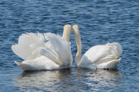 Tederheid - De dans van de zwanen