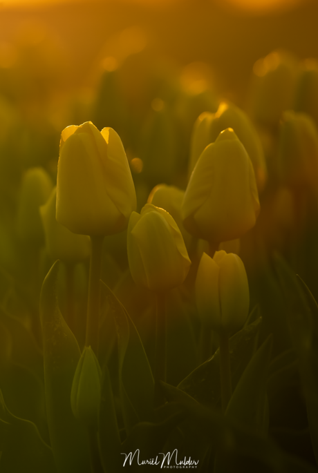 Tulpen in de ochtendzon