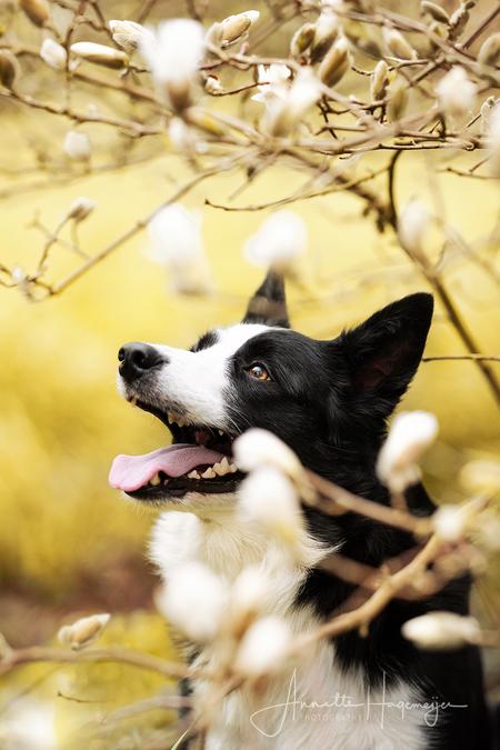 Bordercollie tussen de bloesems - Bordercollie Fleur (aka Speedy Gonzalez, want ze kon ongeveer net zo lang stil zitten haha) onder de magnolia stellata - foto door AnnetteHagemeijer op 15-04-2021 - locatie: Drenthe, Nederland - deze foto bevat: hond, huisdier, bordercollie, bloesem, lente, buiten, bloemen, magnolia, portret, dier, hond, hondenras, carnivoor, afdeling, zonlicht, takje, fabriek, boom, metgezel hond, tinten en schakeringen